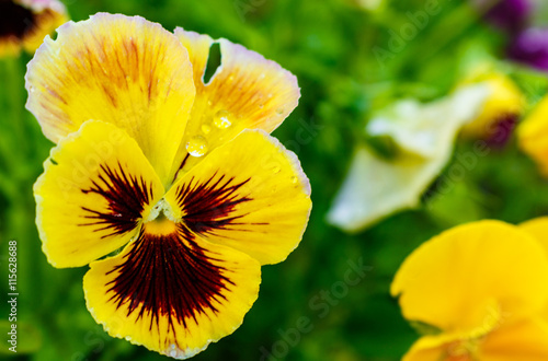 Papiers peints Pansies yellow pansie pansy flower. in the garden.