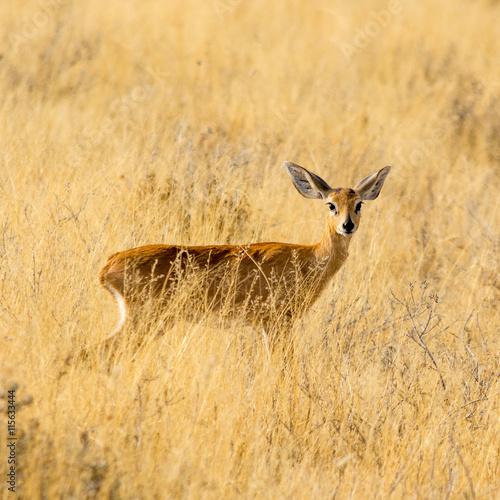 obraz dibond Steenbok