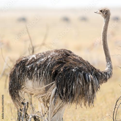 fototapeta na lodówkę Ostrich
