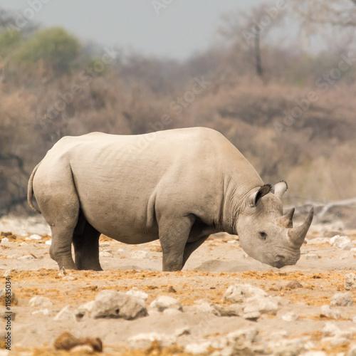 obraz dibond Rhinoceros