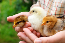 Three Little Cute Chick