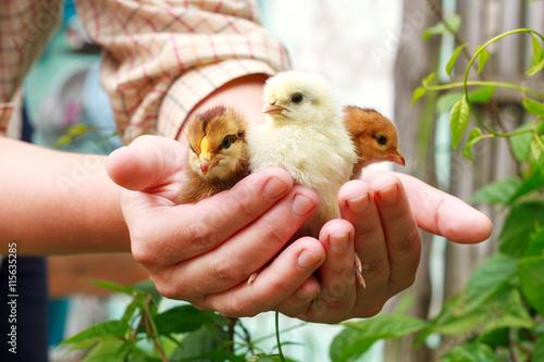 Carta da parati Three little cute chick