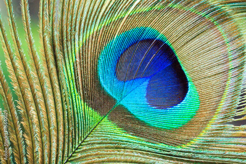 Foto op Canvas Pauw Macro Peacock Feather