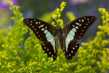 The Lesser Jay Butterfly, Grap...