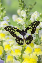 The Electric Green Swallowtail Butterfly, Graphium Tyndereus