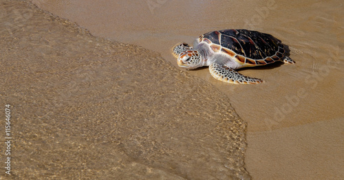 Tortoise is going into the sea on the sand beach