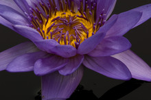 United States, DC, Washington, Kenilworth Aquatic Gardens, Close-up Of Purple Tropical Water Lily With Yellow Center In Black Water