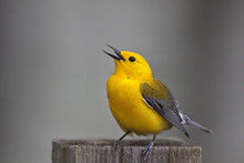 Prothonotary Warbler (Prothonoteria Citrea) Adult Male In Spring, Texas