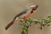 Pyrrhuloxia (Cardinalis Sinuatus) Male Perched In South Texas