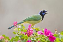Green Jay (Cyanocorax Yncas) Adult Perched In Bugainvilla Flowers