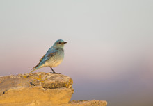 Wyoming, Sublette County, Mountain Bluebird Male With Insect In Mouth For Young