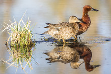 USA, Wyoming, Sublette County, Cinnamon Teal Pair Standing In Pond With Reflection