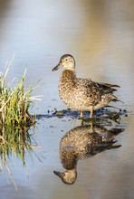 Cinnamon Teal Standing In Pond With Reflection In Pond