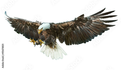 Poster Aigle Bald eagle bird winged flying swoop hand draw and paint on white background vector illustration.