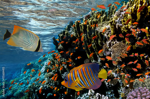 Poster Sous-marin Coral reef with fire coral and exotic fishes at the bottom of co