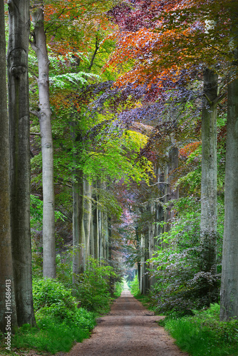 Walkway in a green Spring beech forest in Leuven, Belgium - 115686413