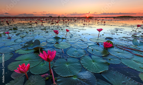 In de dag Waterlelies The sea of red lotus, Lake Nong Harn, Udon Thani, Thailand