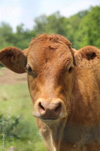 Poster de jardin Vache veal