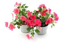 Impatiens Balsamina, Two Flowerpot, White Background