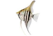 Zebra Angelfish Pterophyllum Scalare Aquarium Fish Isolated On White