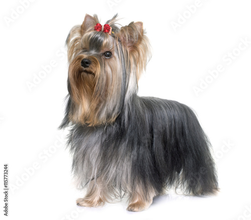 young yorkshire terrier - 115773244