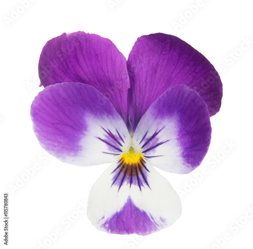 Papiers peints Pansies isolated purple and white pansy bloom
