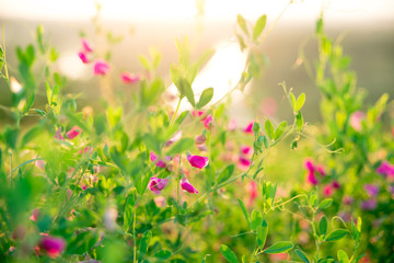 Obraz na płótnie Canvas Beautiful landscape with the wilderness of herbs and pink wildflowers. The idea of the background of Mother's day, 8 March and World environment day. Soft focus