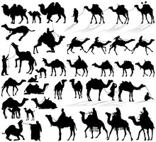 Camel And Dromedary Vector Sil...