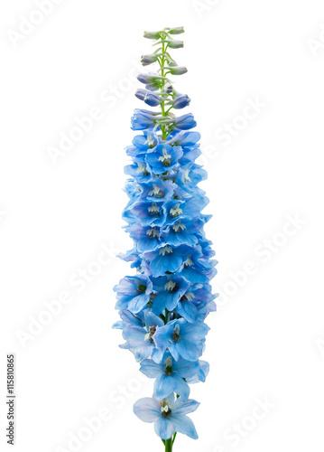 Stampa su Tela Blue delphinium flower isolated on white