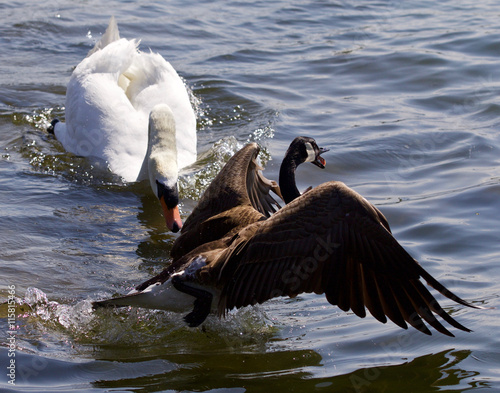 Fotografie, Tablou  Amazing emotional moment with the swan attacking the Canada goose