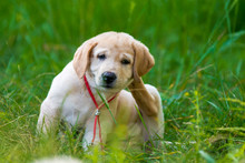 Puppy Retriever Scratching Fleas
