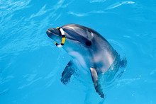 One Dolphin In The Pool Playing With Ring