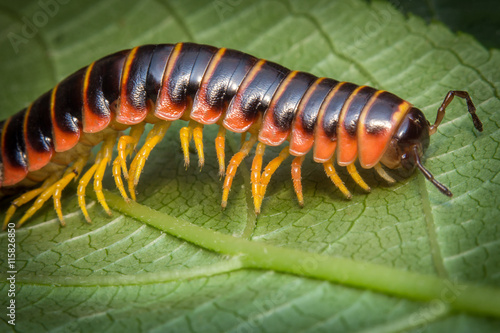 Orange Millipede Leaf Wallpaper Mural