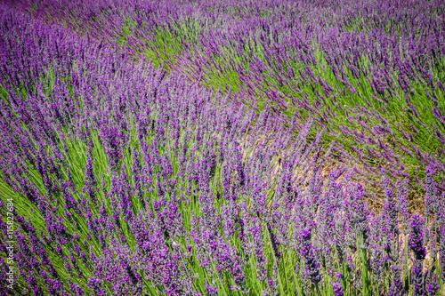 Fotobehang Lavendel Champs de lavandes en Provence