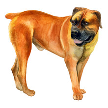 Watercolor Closeup Portrait Of Cute Boerboel Breed Dog Isolated On White Background. Shorthair Smooth Large Guard Dog Posing At Dog Show. Hand Drawn Sweet Home Pet. Greeting Card Design. Clip Art