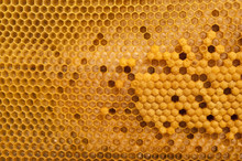 Brood Cells Of The Honey Bee