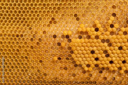Fotografía  brood cells of the honey bee