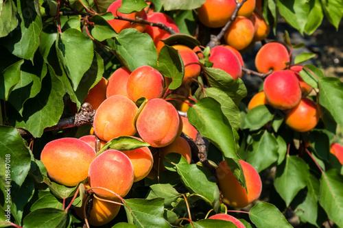 Frische Aprikosen am Baum