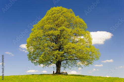 obraz dibond Linde als Einzelbaum im Frühling