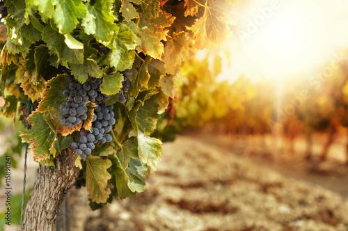 Photo sur Aluminium Vignoble Cachos de uva no parreiral.