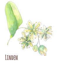 Set Of Linden Blossom, Flowers And Leaves, Bouquet On White Background, Watercolor Painting, Realistic Illustration