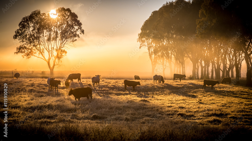 Fototapeta cattle in the morning