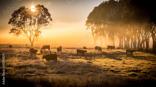 cattle in the morning Fotobehang
