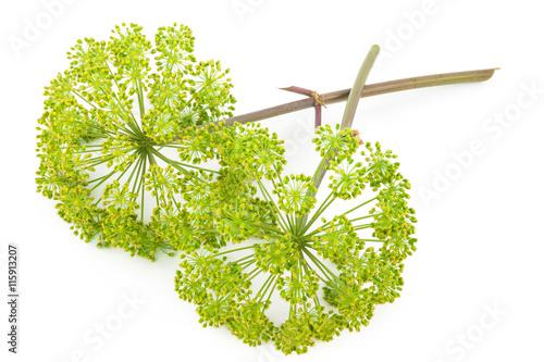Canvastavla  Angelica plant