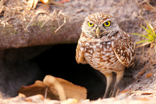 Burrowing Owl Standing On The ...