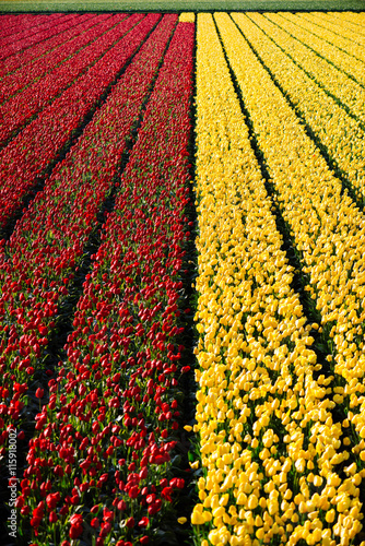 Printed kitchen splashbacks Tulip tulpen in Keukenhof