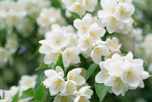dense jasmine bush blossoming in summer day Fototapet