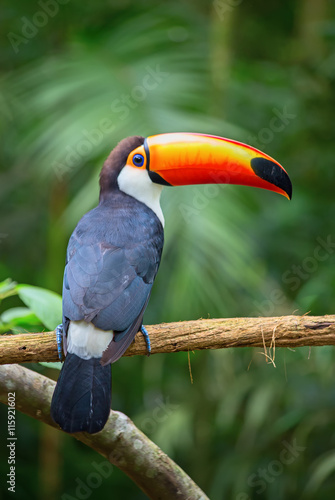 In de dag Toekan Colorful tucan