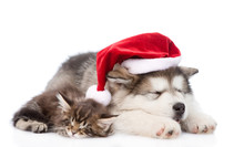 Alaskan Malamute Puppy And Maine Coon Kitten With Red Santa Hat. Isolated On White