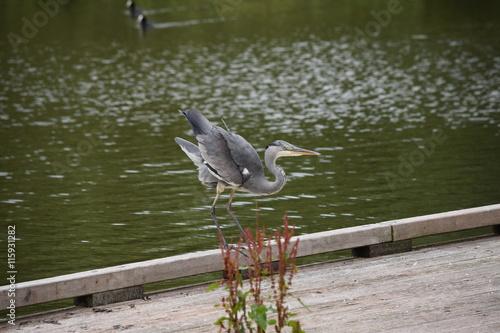 Fotobehang Zeemeermin heron just about to take off